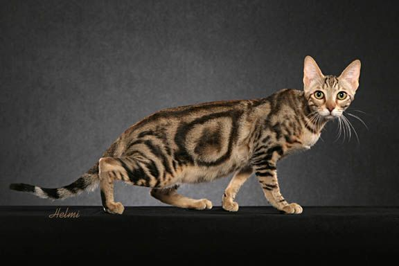 This is a cat called a sokoke. It's rare and obviously looks very cool. Reminds me of a walking optical illusion.