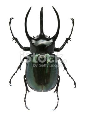 Big horned beetle Royalty Free Stock Photo
