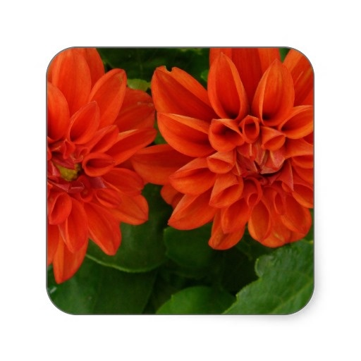 Red Dahlia Square Stickers from Zazzle.com $7.45/sheet of 20