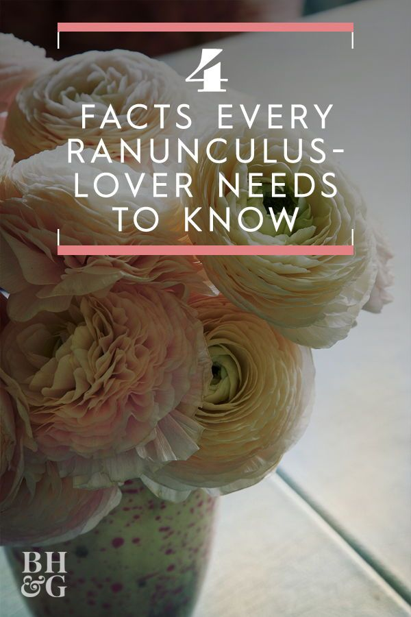 5 Fascinating Facts Every Ranunculus Lover Needs To Know Big Blooms Fall Plants Ranunculus