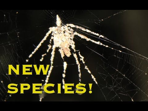 NEW SPIDER SPECIES - makes a spider decoy! http://newswatch.nationalgeographic.com/2013/01/23/spider-decoy/?utm_source=Facebook_medium=Social_content=link_fb20130124ngnw-spiderweb_campaign=Content