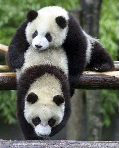 Imagenes osos panda: Fotografia osos panda jugando  [11-4-16]