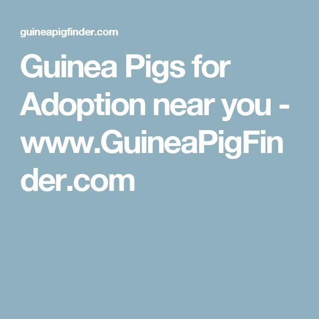 Guinea Pigs for Adoption near you - www.GuineaPigFinder.com