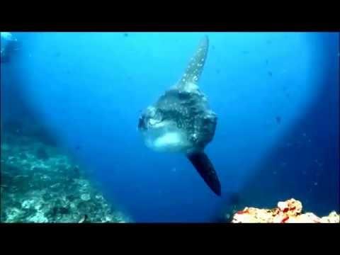 Bali diving with Mola Mola / バリ島ダイビング: バリ島で巨大マンボウとダイビング