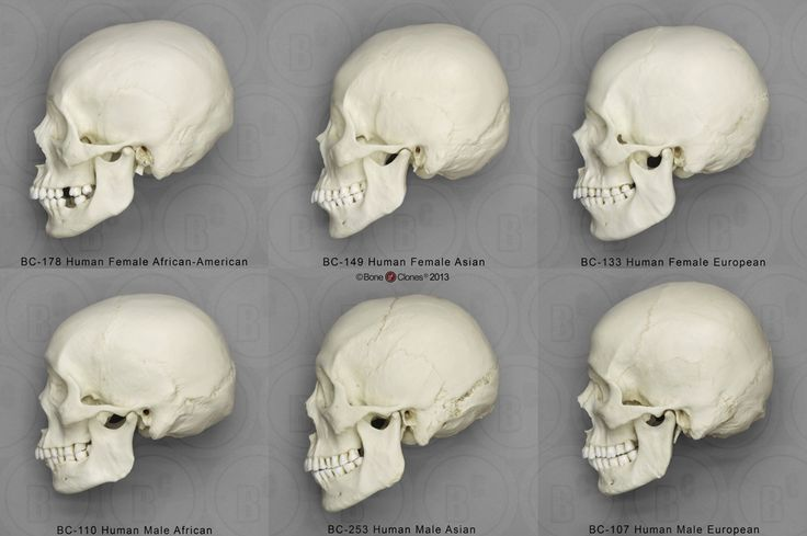 Human Male and Female Skulls: African, Asian, and European (side view) — Comparative Set, Bone Clones.