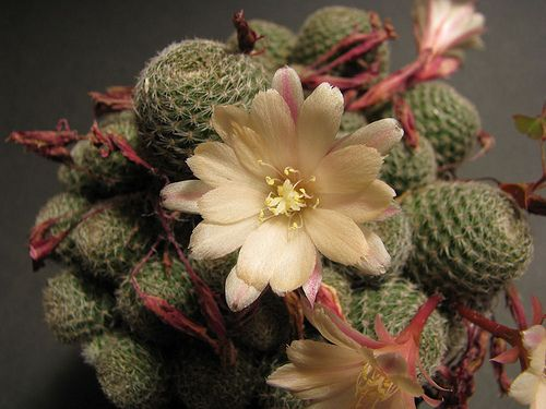 Cactus: Rebutia heliosa x pulvinosa cv. sunrise