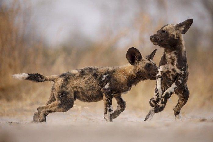 Playful wild dog pups #Linyanti #Botswana #safari