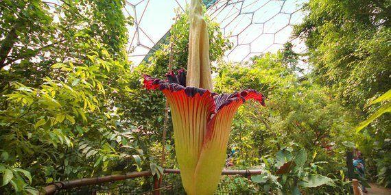 10 Seeds Rare Corpse Flower Seeds The Titan Arum The Biggest Flower In The World Titan Arum Amorphophallus Titanum Spring Garden Flowers