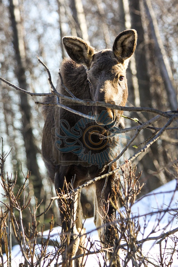 Baby Moose Calf   Alaska Wildlife  Crystallyzed Photography  www.crystallyzed.com