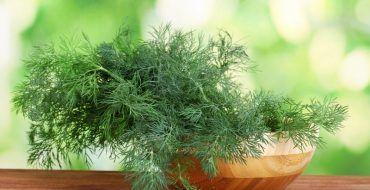 Укроп можно выращивать на подоконнике, как это сделать?