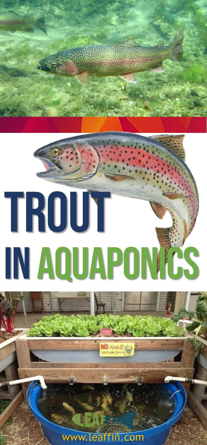 Aquaponics Using Rainbow Trout to Grow Plants in Winter ...