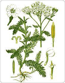 On récolte l'achillée millefeuille, dont les variétés à fleurs rouges ou blanches sont plus actives médicinalement, au moment de la floraison, de la mi-juin à l'automne.
