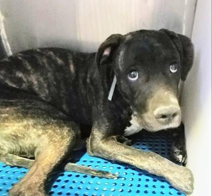 Dies ajune 15, 2017 ~~ Animal IDt35355059 rnSpeciestDog rnBreedtTerrier, American Pit Bull, El Paso Animal Shelymter6