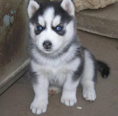 Free Husky Puppies for Free | WOW!!!!FREE husky | Dogs and Puppies for Sale
