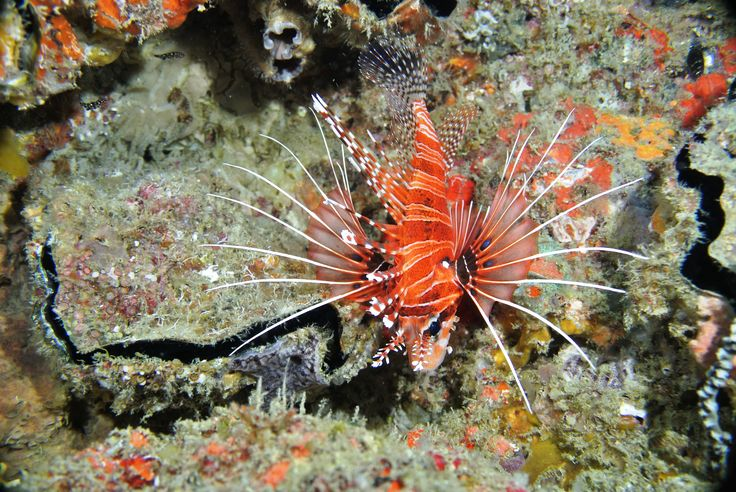 Lionfish, Mozambique