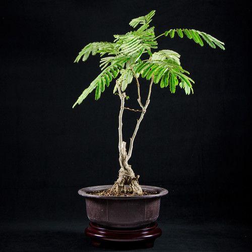 Small Jacaranda Tattoo: 67 Best Jacaranda Trees Images On Pinterest