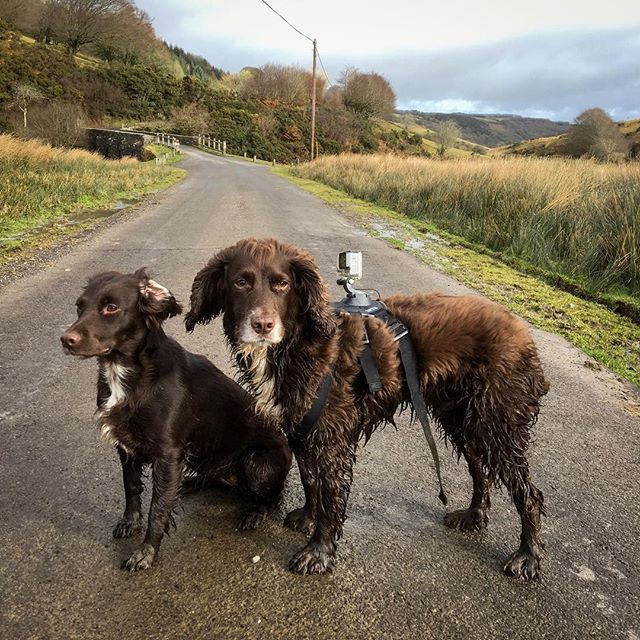 Today's #cameracrew with the@#gofetchgopro #harness GoPro #dogsofinstagram #sprockers #spaniels #exmoor #filming #winter #cold #videographer
