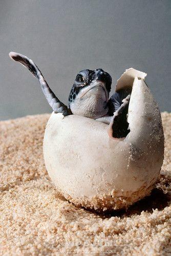 "Help or watch turtles start thier lives ""Yo."" (Sea turtle hatching, Grand Cayman Island)"