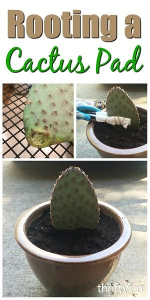 This is a guide about rooting a cactus pad. Many types of cactus propagate in nature by their ability to have a pad or segment grow into a new…