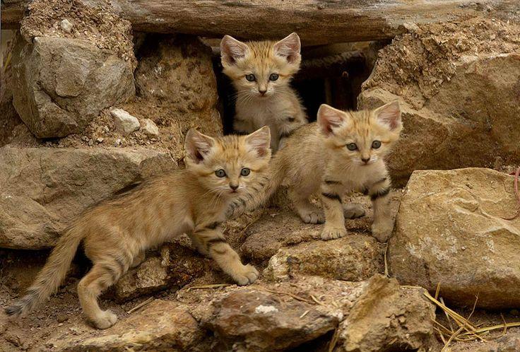 """Les chats des sables sont les """"Peter Pan"""" des félins ! En effet, ces chats, même adultes, refusent de grandir et conservent une petite bouille de chaton. SooCurious vous en dit plus sur ces boules de poils si spéciales et malheureusement en danger !Des chats..."""