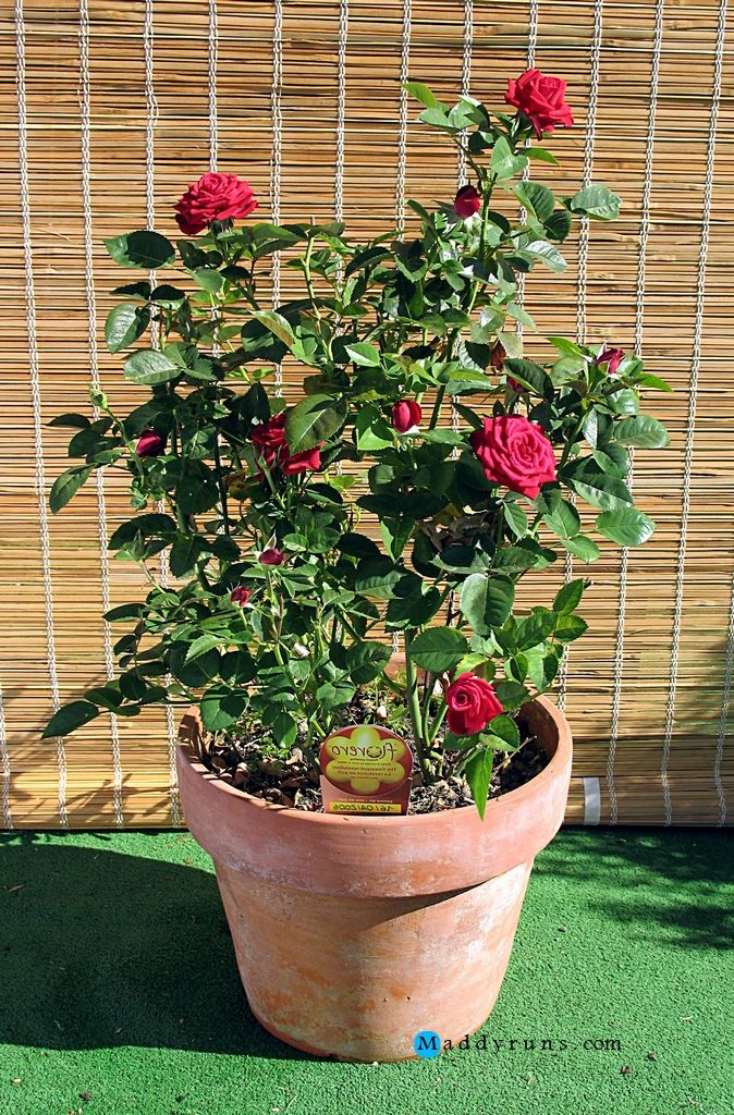 Gardening:Rose Garden Tips And Ideas Gardening Landscape Plans Garden  Seating Planting Plan Climbing Rose Flower Yard Decor Small Backyard  Landscapu2026