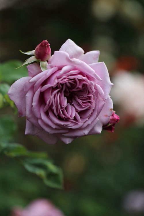 Shrub Rose: Rosa 'Bella Donna' (Japan, 2010)