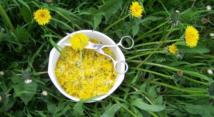 Желтый женьшень: самое многофункциональное лекарство — одуванчик! — Мир Растений