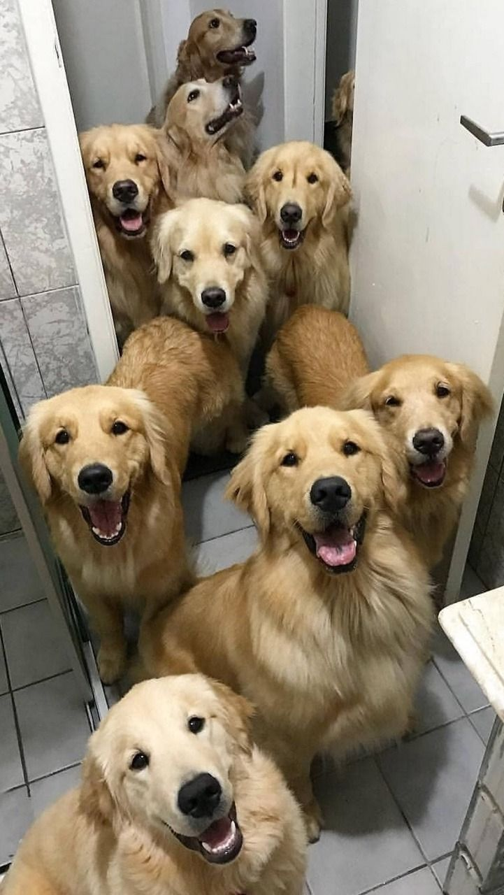 Pin By Darcie Deangelis On Animaux Dogs Dog Love Golden Retriever