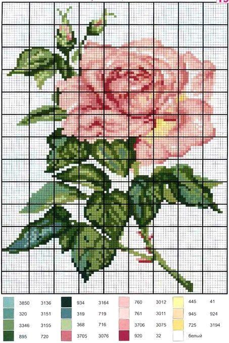 .rosa rosa