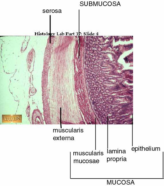 small intestine histology labeled | ... , stomach, small ...