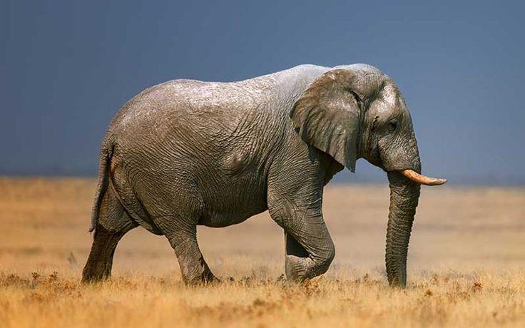 Los elefantes africanos nacen sin colmillos debido a la caza furtiva