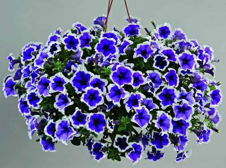 Petunia - Cascadias™ Violet Skirt