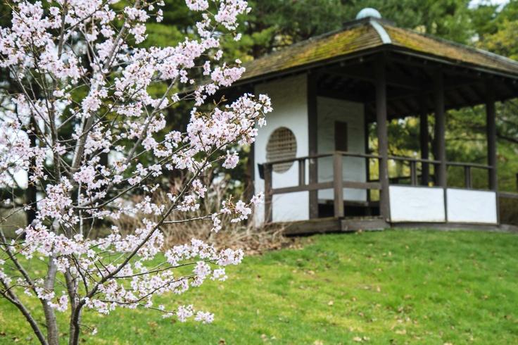 cerisier en fleurs jardins japonais jardins fleur de. Black Bedroom Furniture Sets. Home Design Ideas