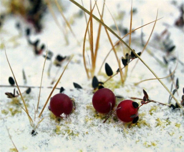 Snow cranberries by Hannu Hautala, Finland