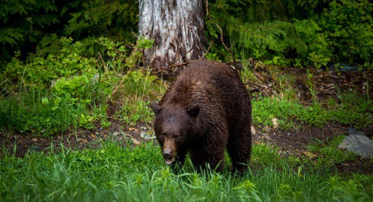 Explore Whistler's black bear habitat in a 4X4 vehicle with local famous black bear researcher, Michael Allen.
