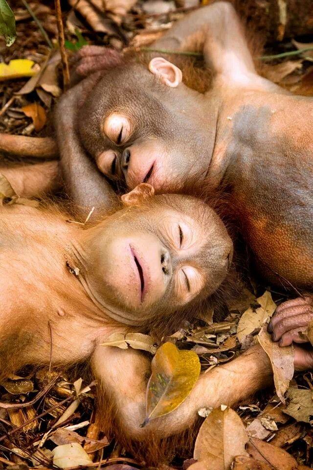 Happy baby orangutans
