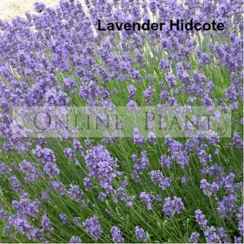 5 Ways to Landscape with Lavender - Garden