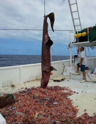 Squalo-mostro catturato negli Usa - Pescato nel Golfo del Messico un goblin-shark. - L'unico precedente simile risale al 2002, sempre nel Golfo del Messico. Questi animali vivono solitamente in acque molto profonde al largo del Giappone. Gli scienziati avrebbero voluto studiare questo esemplare così raro, ma lo squalo è stato rigettato in mare quasi subito dai pescatori.