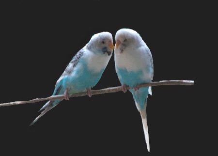 2 Budgies Kissing :: Animated
