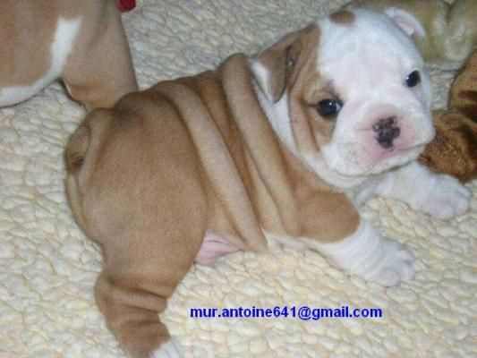 American Bulldog Puppies For Sale | Phoenix, AZ #145963 | Petzlover