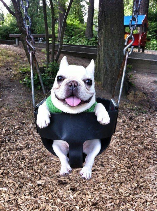 Un Frenchie paffuto prendendo una pausa su un'altalena.