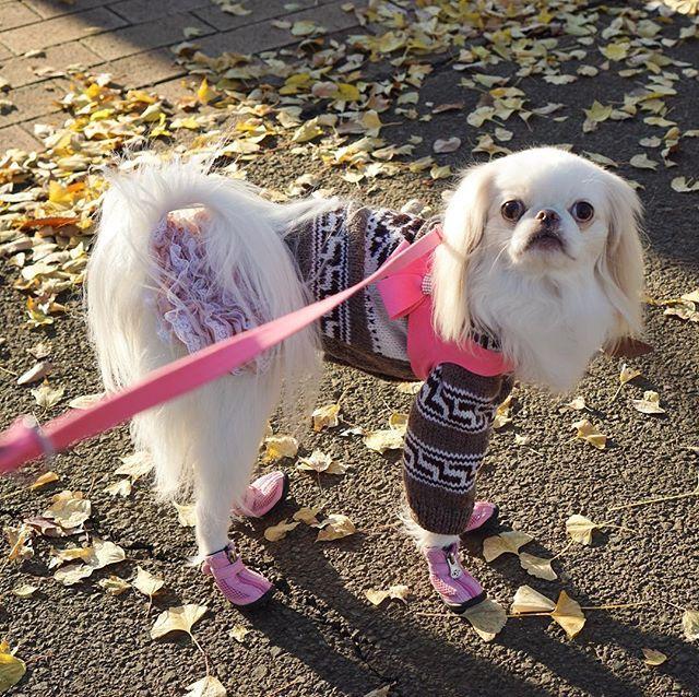 わかってるはずだけど、写真見るとハニーくんの足の長さにびっくりする💦 #狆 #japanesechin #茶狆 #犬 #dog #鼻ぺちゃ #ふわもこ部 #愛犬 #わんこなしでは生きていけません会  #日本犬  #inutokyo #スタペグラム #sony #α5100 #ミラーレス #ミラーレス一眼 #カメラ女子 #カメラ初心者 #カメラ練習中 #スーザンランシー  #グラマーイズム  #犬靴 #犬の靴