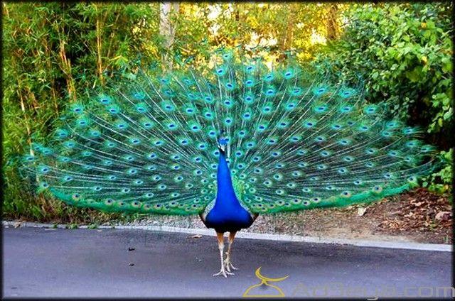 تفسير رؤية الطاووس في المنام او الحلم ابن سيرين الامام الصادق الطاووس الطاووس في الحلم Peacock Images Peacock Beautiful Birds