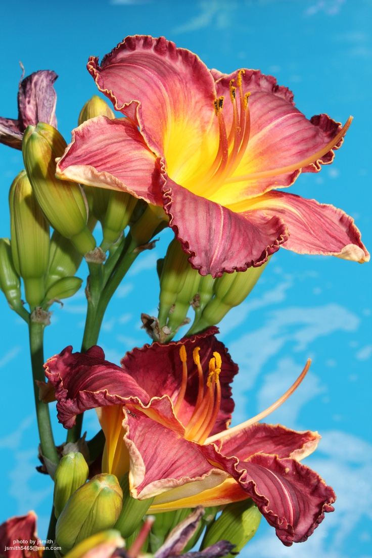 126 best lushious lillies images on pinterest flowers pretty find this pin and more on lushious lillies by sheilshamrock dhlflorist Choice Image