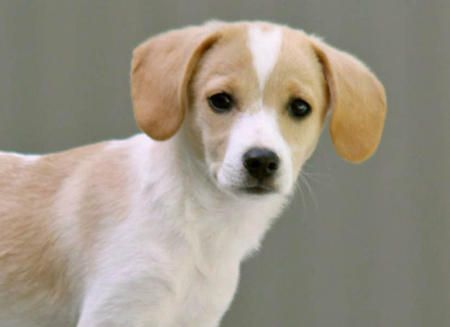 Captain Boots the Beagle Mix-Oh WOW! Look at that heart shaped marking on her head! How Cute!