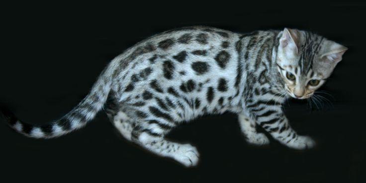 i want a bengal cat..pleaseeee