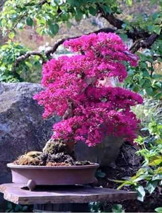 10 ideas sobre rboles enanos en pinterest arbustos de for Arbustos enanos para jardin