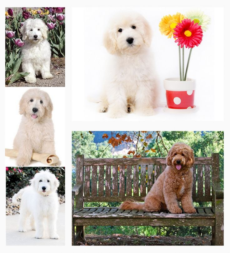 F1 English Goldendoodles - Choosing your Goldendoodle Generations - Goldendoodle Puppies and Irish Doodles Info