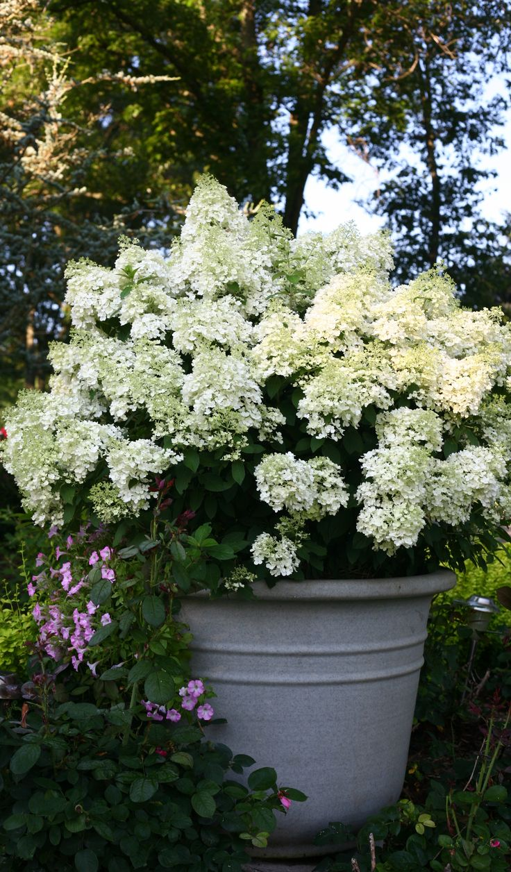 Everyone who has Bobo hydrangea in their yard is totally in love with this easy-to-grow hydrangea that only reaches 3 feet in height. White blooms cover the plant in summer, which then age to a beautiful dusty pink in fall. Hardy to zone 3.