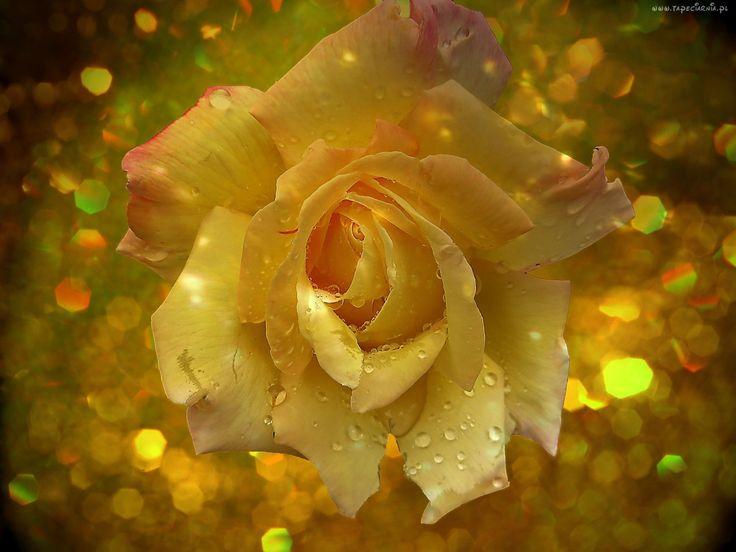 Róża, Krople, Światło, Bokeh